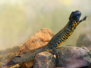 (Northern Crested Newt)
